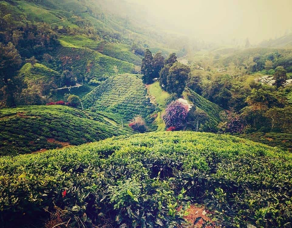 BOH-tea-plantation-Cameron-Highlands-Malaysia ] Travel Mermaid