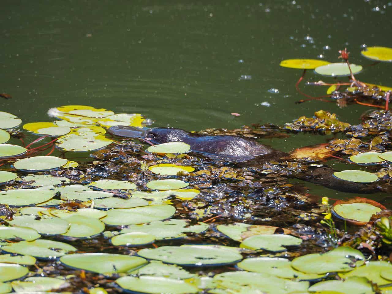 Australian-Platypus-Park-Atherton-Tablelands-North-Queensland-Australia ] Travel Mermaid 002