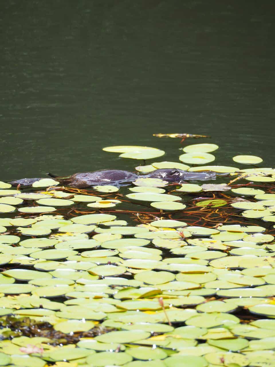 Australian-Platypus-Park-Atherton-Tablelands-North-Queensland-Australia ] Travel Mermaid 006