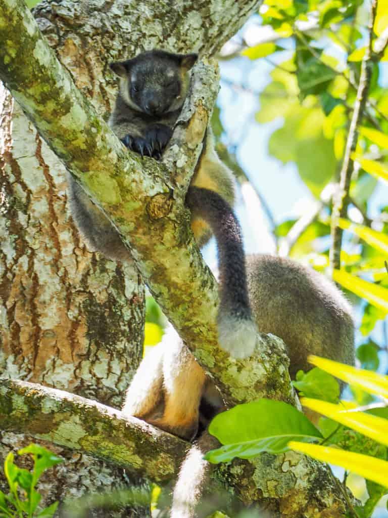 Lumholtz's-Tree-Kangaroo-Nerada-Tea-Plantation-Atherton-Tablelands-North-Queensland-Australia ] Travel Mermaid 043