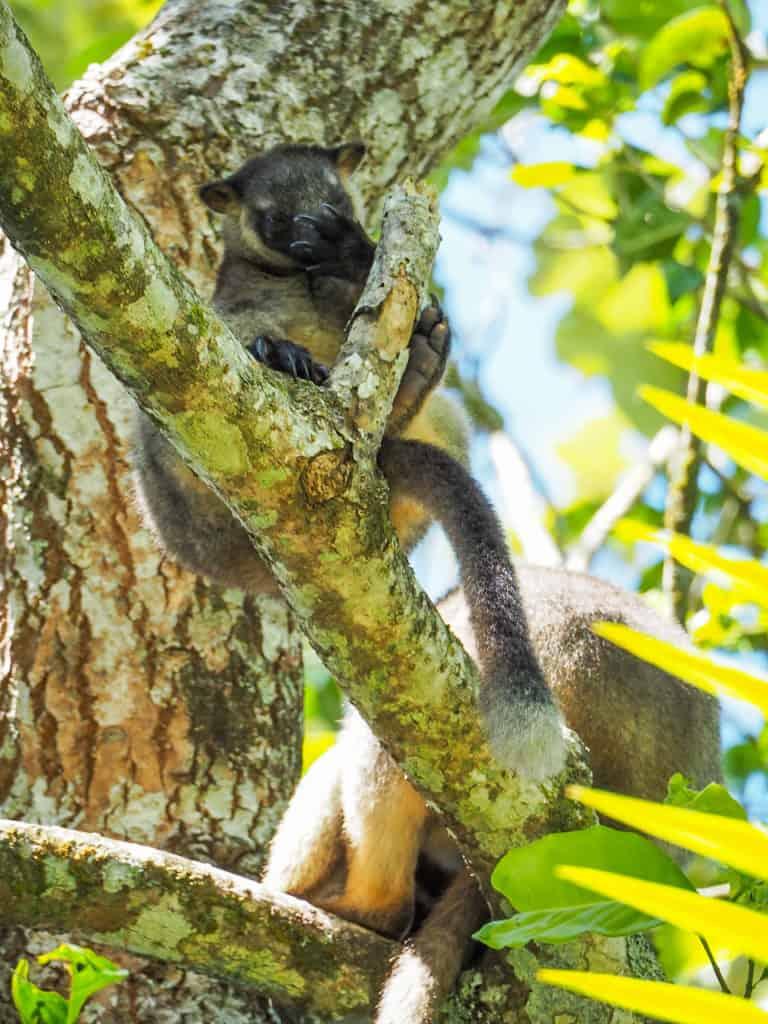 Lumholtz's-Tree-Kangaroo-Nerada-Tea-Plantation-Atherton-Tablelands-North-Queensland-Australia ] Travel Mermaid 044