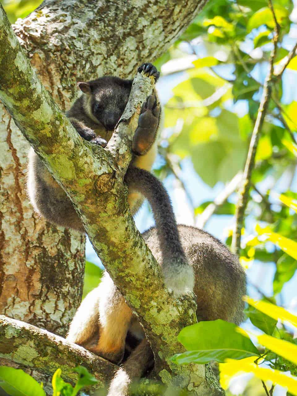 Lumholtz's-Tree-Kangaroo-Nerada-Tea-Plantation-Atherton-Tablelands-North-Queensland-Australia ] Travel Mermaid 046