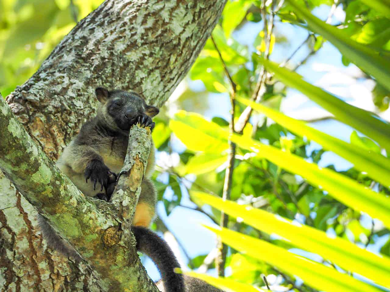 Lumholtz's-Tree-Kangaroo-Nerada-Tea-Plantation-Atherton-Tablelands-North-Queensland-Australia ] Travel Mermaid 051