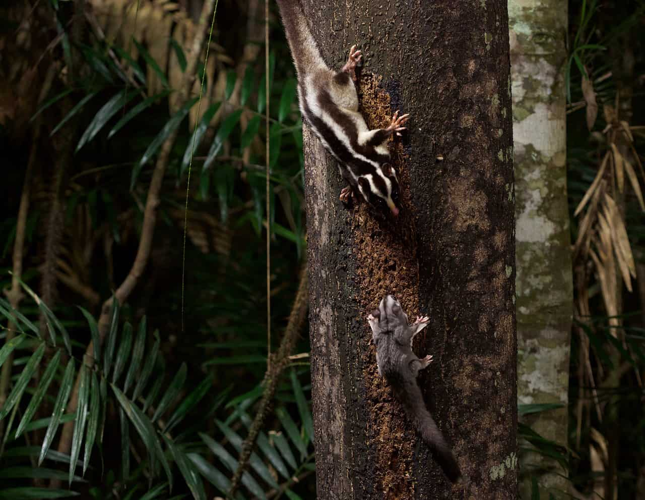 Sugar-Glider-Chambers-Wildlife-Lodge-Atherton-Tablelands-Queensland-Australia-1