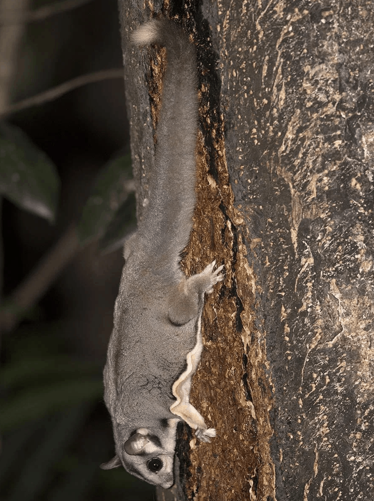 Sugar-Glider-Chambers-Wildlife-Lodge-Atherton-Tablelands-Queensland-Australia-photo by // GoBirding.com