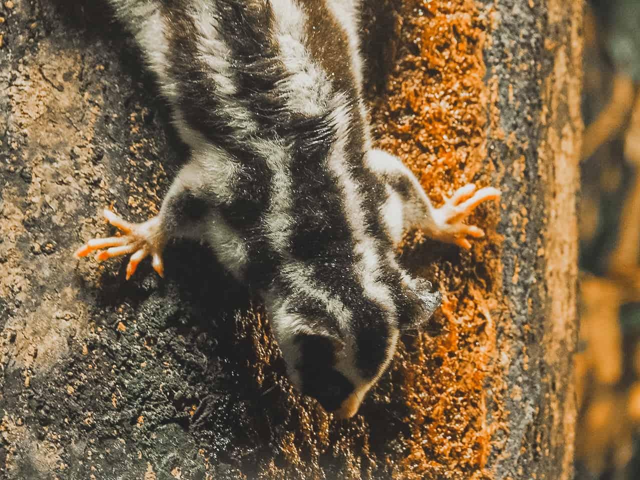 striped-possum-Chambers-Wildlife-Lodge-Atherton-Tablelands-North-Queensland-Australia ] Travel Mermaid 011