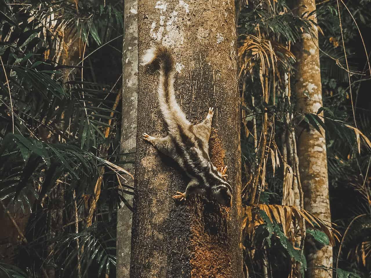 striped-possum-Chambers-Wildlife-Lodge-Atherton-Tablelands-North-Queensland-Australia ] Travel Mermaid 012