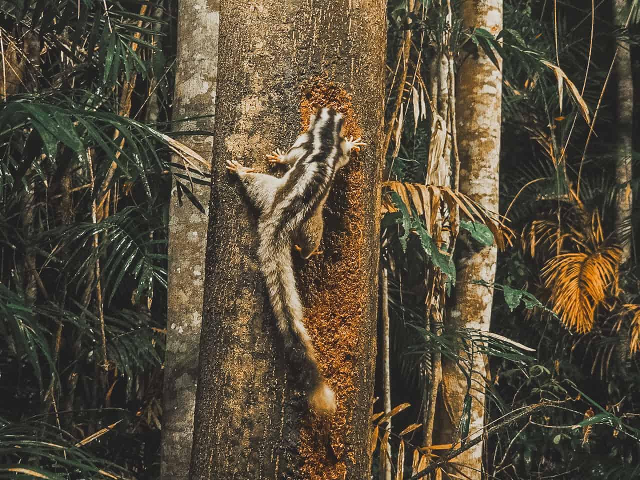 striped-possum-Chambers-Wildlife-Lodge-Atherton-Tablelands-North-Queensland-Australia ] Travel Mermaid 017