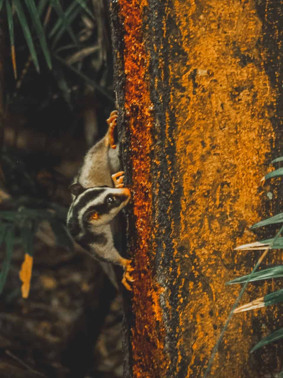 striped-possum-Chambers-Wildlife-Lodge-Atherton-Tablelands-North-Queensland-Australia ] Travel Mermaid 035